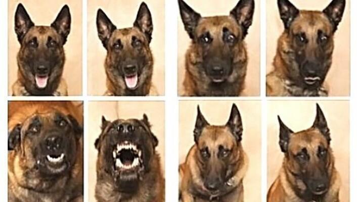 50 respondenter skulle gjette seg frem til hvilke følelser hunden Mal viste på forskjellige bilder. Her er han glad, engstelig, sint og lei seg. (Foto: Keith Reynolds/Barnwood Gallery)