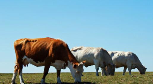 Mange bakterier i upasteurisert melk