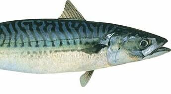 Derfor vil japanerne ha norsk makrell