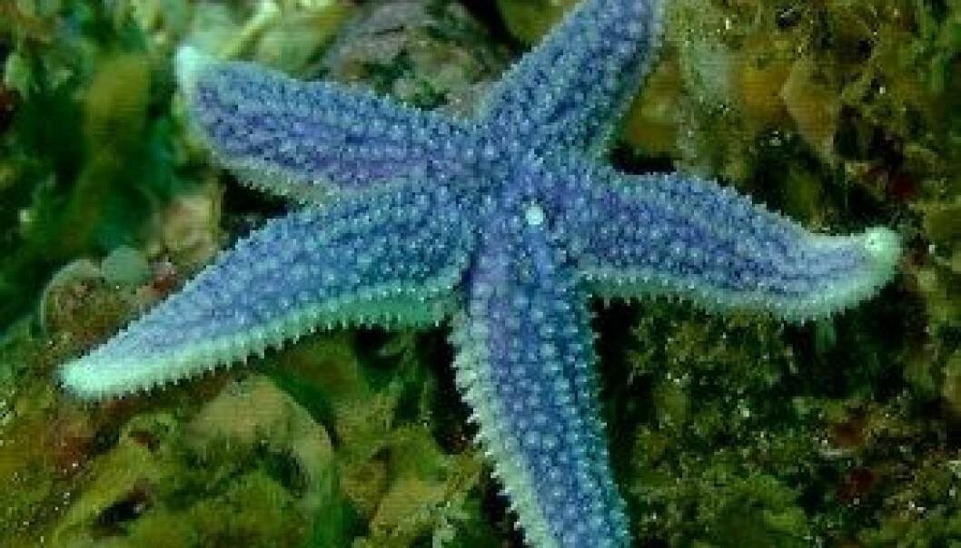 Blå sjøstjerne på en grunne i Lopphavet. (Foto: Mareano/Havforskningsinstituttet)