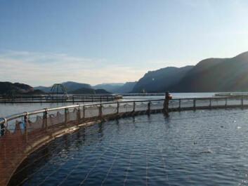 Mer enn 95 prosent av oppdrettsfisken i Norge går til eksport, men etterspørselen etter laks her i landet er også i rask vekst. (Foto: Shutterstock)