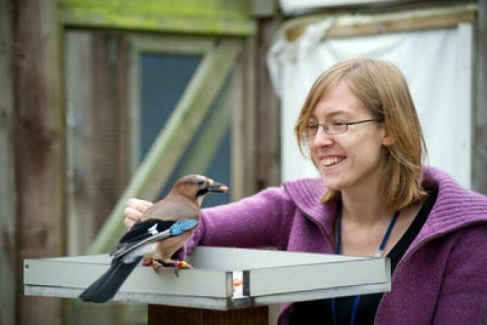 Nøtteskrika er blant de smarteste fuglene og får som forskningsobjekt innpass på de mest prestisjefylte engelske universiteteter. Doktorgradsstudent Lucy G. Cheke ved Cambridge University med fuglen Rome. (Foto: Julia Leijola)