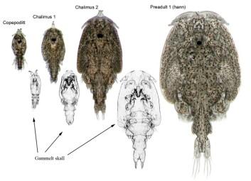 Tidlege stadiar av lakselusa si utvikling: Etter klekking av egga lever lakseluslarvane i dei frie vassmassane ein kort periode før copepoditten (ca 0,7 mm lang, til venstre i illustrasjon) festar seg til laksen. Her lever ho ei kort veke før ho limer seg fast. Medan lakselusa heng fast blir den kalla chalimuslarve, og den skiftar skal to gonger før den slepp taket og vandrar fritt rundt på laksen (til høgre i illustasjonen). Tidlegare trudde ein at lakselusa hadde fire chalimusstadium. (Foto: (Illustrasjon: Lars Hamre, Sea Lice Research Centre))