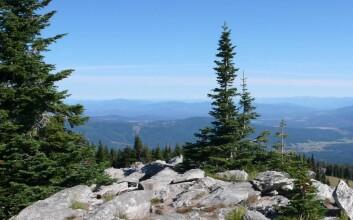 Fjelledelgran på toppen av Mount Spokane (1793 m.o.h.) i staten Washington. (Foto: Venche Talgø)