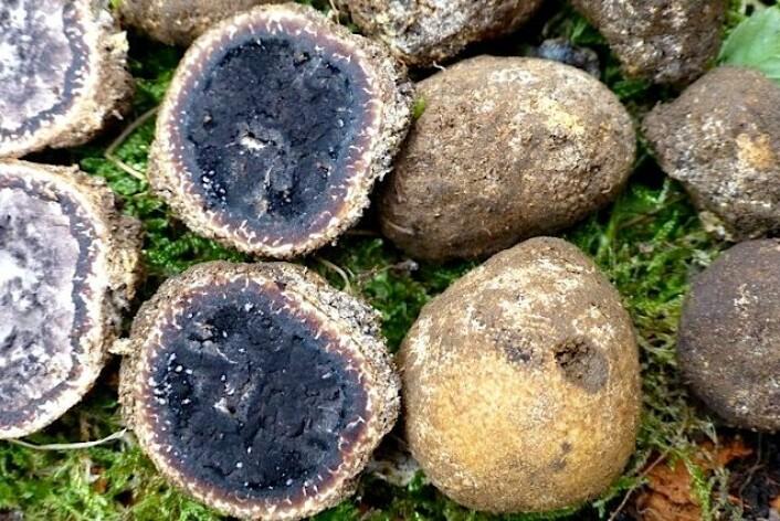 Elaphomyces decipiens, en ny art for Norden funnet i Farsund. (Foto: Anne Molia)