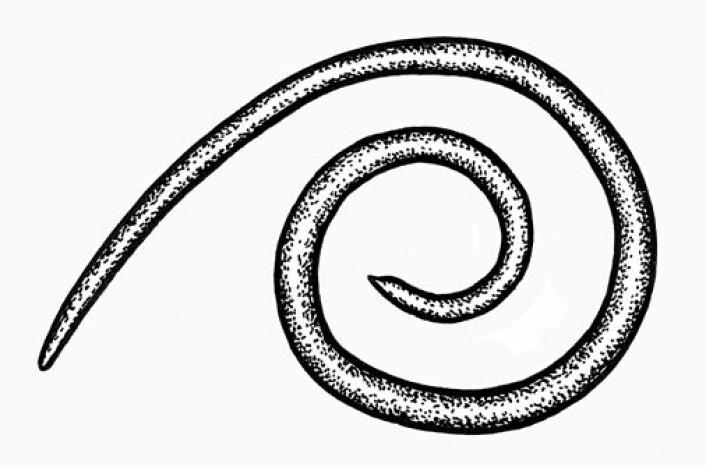 Kvalkveis Anasakis simplex. (Foto: (Ill.: Einar Strømnes, NHM))