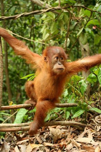 En liten orangutangunge. (Foto: Wikimedia Commons)