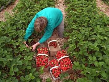 Omsetningen av jordbær øker årlig i Norge. I 2010 spiste hver nordmann rundt fire kilo bær. (Foto: Shutterstock)