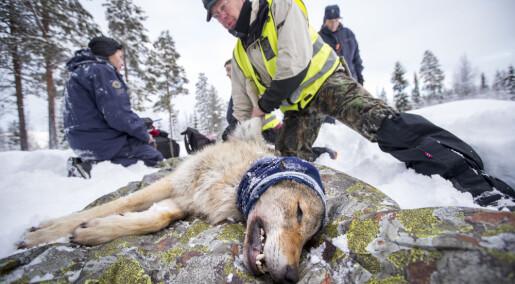 Opp mot 100 ulv påvist i Norge