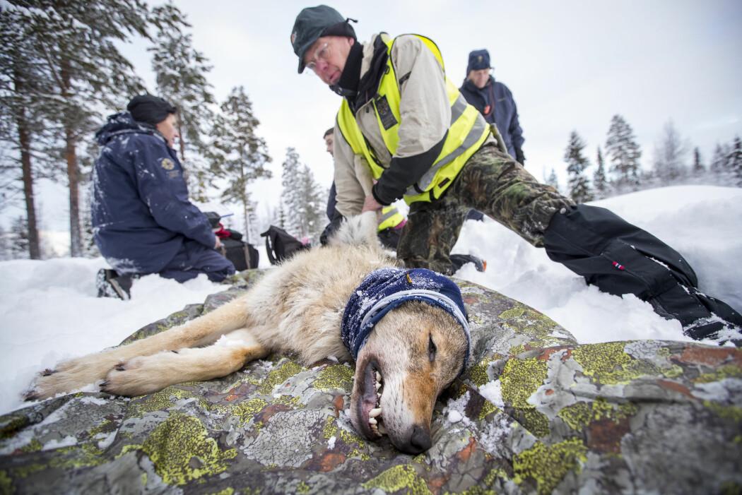 En ulv fra Slettåsflokken blir radiomerket i Hedmark.