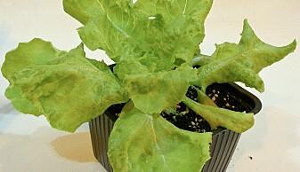 Mange av frøene spirte, blant annet frøet som ble til denne salaten.