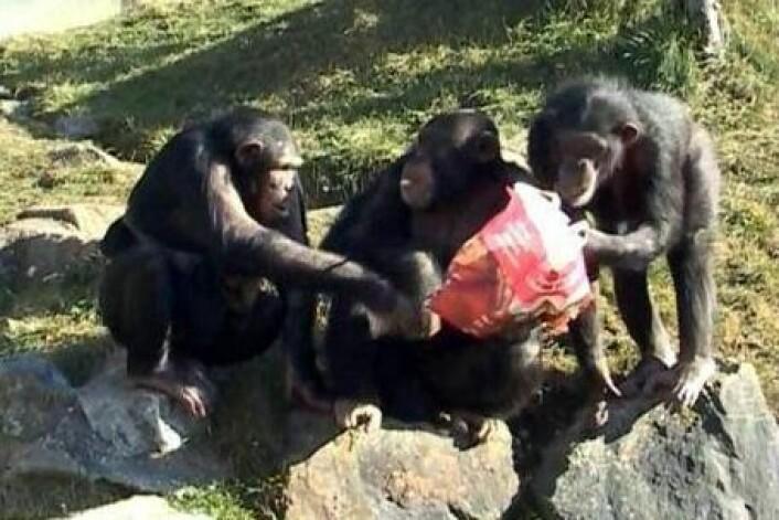 Sjimpanser deler gjerne mat med sine beste venner. (Foto: Adrian Jaeggi)