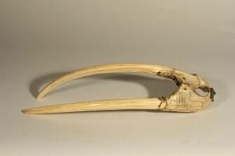 This rostrum with tusks can be dated to 1200-1400 CE, based on a runic inscription in Old Norse.