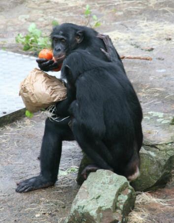 En hjelpende hånd settes pris på av bonoboer. (Foto: Jeroen Stevens)