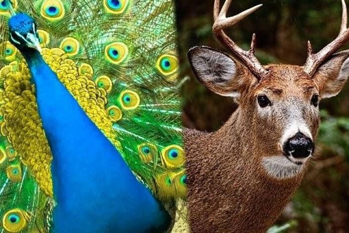 Fugler og hjortedyr er noen av naturens mest forfengelige dyr, men de retter jåleriet mot forskjellige kjønn. (Foto: Colourbox/NRK)