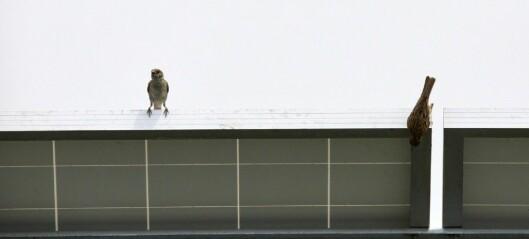 Fuglene klarer ikke å bygge rede i moderne hus
