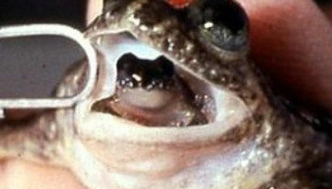 Rheobatrachus silus legger egg, svelger eggene, og føder med munnen. Australian Government Department of the Environment, Water, Heritage and the Arts
