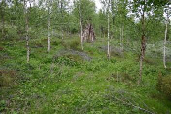 Tynning i engbjørkeskog kan fleirdoble produksjonen i undervegetasjonen. (Foto: Yngve Rekdal, Skog og landskap)