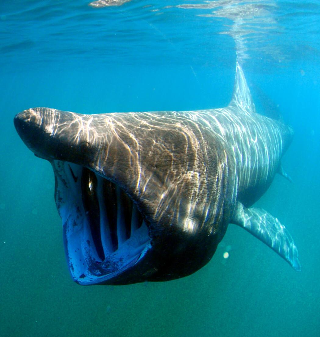 Gapet til brugda er nesten én meter bredt, men denne haien er ufarlig for mennesker og spiser kun dyreplankton. Plastpartikler går inn i samme munnen. Nå varsler forskere at verdens nest største fisk er sårbar for klimaendringer.