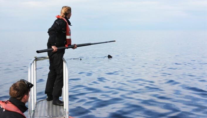 Datainnsamling til havs. Forskerne samler inn skinnprøver fra brugdens hudslim.