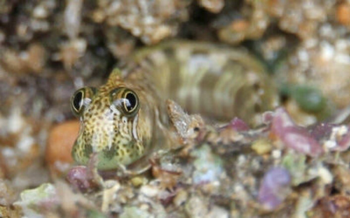 Landkrabbefisken Alticus arnoldorum er tallrik på stillehavsøya Guam. (Foto: Courtney Morgans, UNSW)