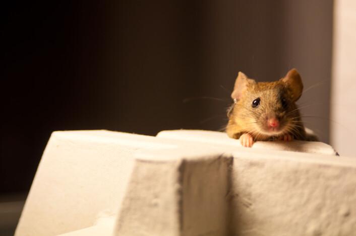 En mus i forsøket utforsker miljøet sitt. (Foto: Matias Okawa, Hannah Eggink)