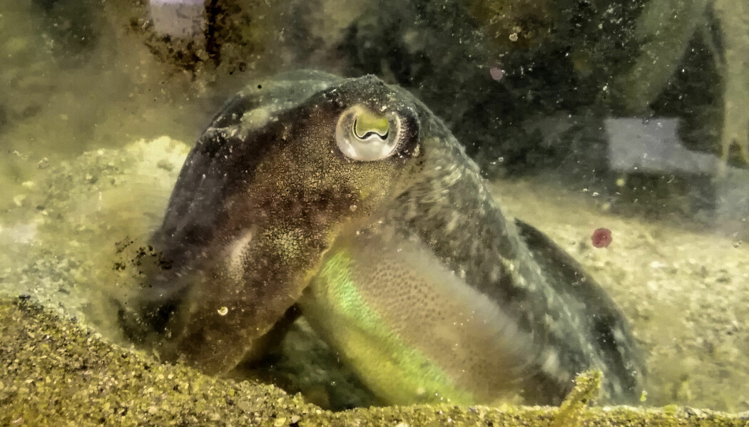 Sepia-blekkspruten lærer kjapt. På noen få dager kan den lære seg nye matvaner.