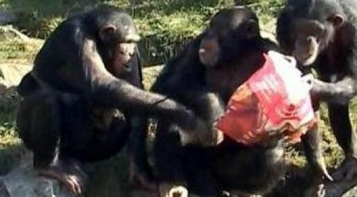 Sjimpanser utveksler vennetjenester