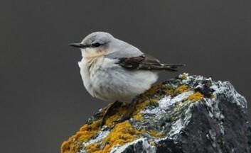 Steinskvett er en av artene som går tilbake i fjellet i Norge. (Foto: Per Jordhøy/Nina)