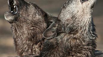 Fryktede ulvehyl handler om savn