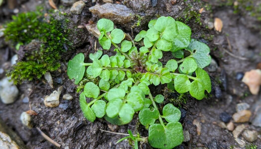 Ein liten rosettkarse trassar vinteren og spirar freidig i februar. Denne kortlevde arten veks i skogbryn og på skjellsand - og i mang ein hage. Foto: Inger Auestad
