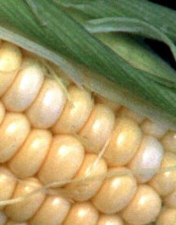 """""""Det er vanskelig å finne maisprodukter som er helt frie for genmodifisering, sier Mattilsynet."""""""