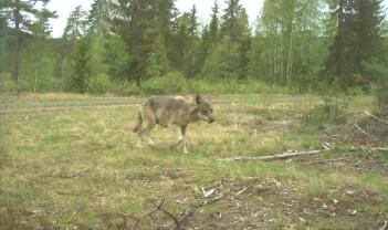 DNA-analyser tilbakeviser påstander om dyreparkulv og hybrider i Norge