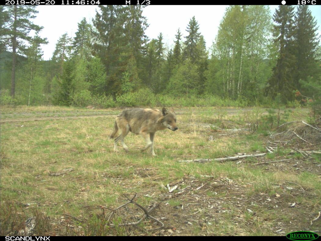Vill ulv fotografert i Åsnes kommune i mai i fjor.
