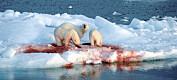 Når isen flyttar seg, må selen følge etter. Da går den rett i gapet på isbjørnen