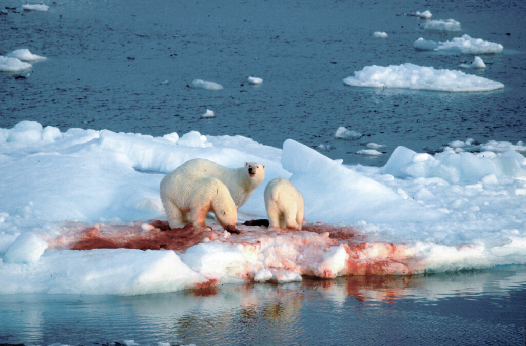 Historisk yngla selane på iskanten langt ute i Atlanterhavet, men no hamnar dei ved kysten av Grønland, midt i jaktmarkene til isbjørnen.