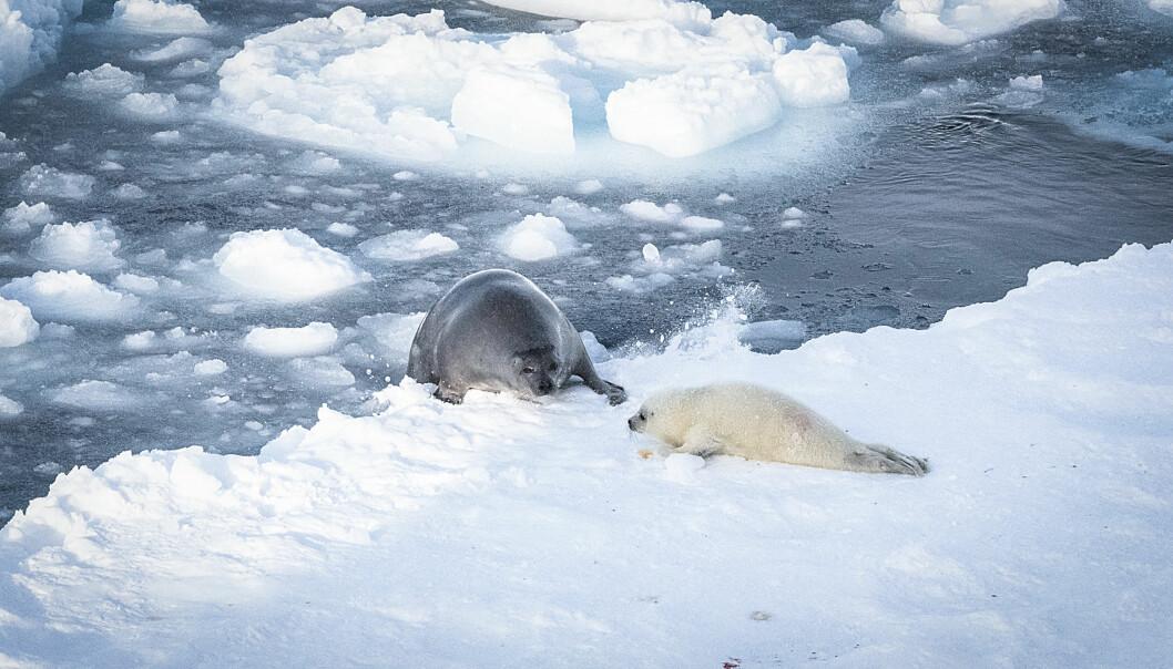 Ungene til klappmyss og grønlandssel blir fødde på isen og må die der i dagevis til dei er sjødyktige.