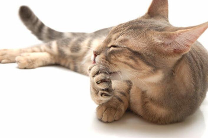 Katter sørger for å holde pelsen flott slik at fiendene tror den er vanskelig å fange fordi den er ung og sterk. (Foto: Colourbox)