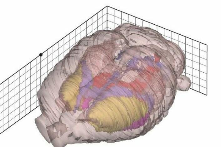 Hjernen skal kartleggjast i eit digitalt hjerneatlas som del av eit stort hjerneprosjekt. NB på biletet ser vi ein rottehjerne. (Foto: T. B. Leergaard, J.G. Bjaalie, NeSys-gruppen, UiO)