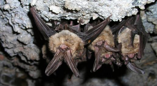 Flaggermus kan ha mange farlige virus. Hvorfor blir de ikke syke selv?