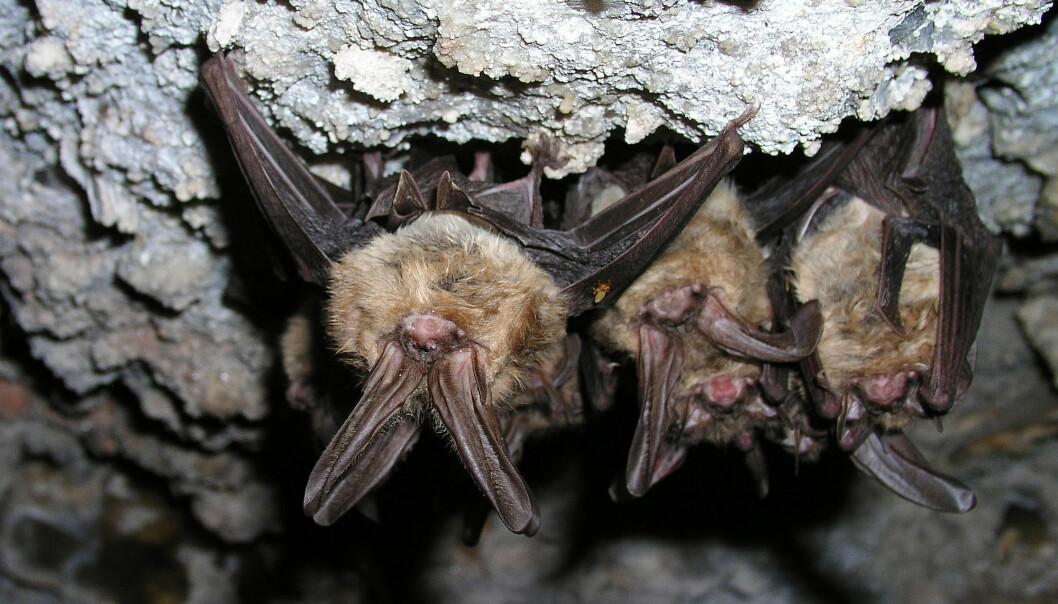 Virus smitter lett mellom flaggermus siden de ofte bor tett sammen i store kolonier. Gjerne i en fuktig grotte.
