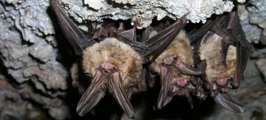 Flaggermus kan ha mange farlige virus.Hvorfor blir de ikke syke selv?