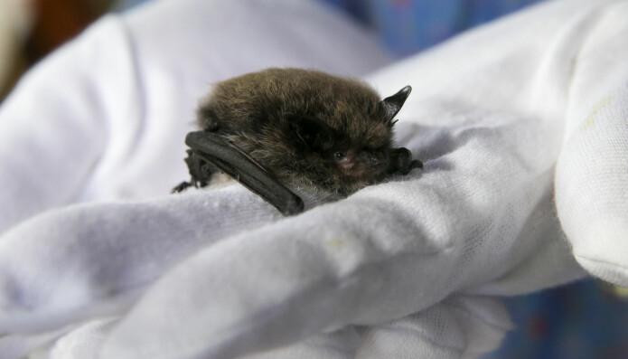 Denne flaggermusen havnet på Norsk zoologisk forenings flaggermusmottak. Her havnet også flaggermusen som hadde fått det rabies-lignende viruset European bat lyssavirus i 2015. Den syke flaggermusen ble sendt videre til Veterinærinstituttet.