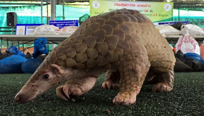Skjelldyr, også kalt pangoliner, kan også ha vært en kilde til Wuhan-viruset. Denne ble konfiskert i tollen i Thailand.