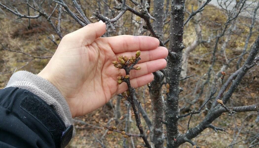 Kommer du over bjørk i naturen med knopper i tette ansamlinger og med fortykkede greiner, kan det være bjørkeknoppmøllen som har vært på ferde.