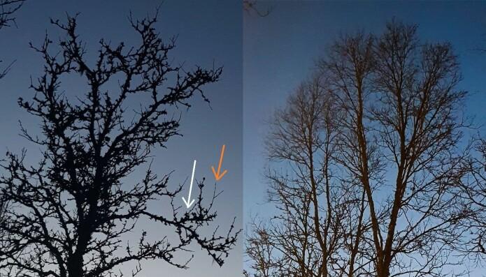 Treet til venstre er angrepet av møll, mens treet til høyre er uten tegn til angrep. Angrepne trær har usedvanlig tykke hovedgreiner med tallrike knopper i knipper og veldig korte sidegreiner. Dette treet har etter siste angrep fra bjørkeknoppmøll utviklet noen normale sidegreiner. Vi ser dem som tynne greiner med få, enkeltvise knopper. Hvit pil: sterkt angrepet grein med flere knipper. Oransje pil: nyutviklet normal grein med noen få enkeltstående bladknopper.