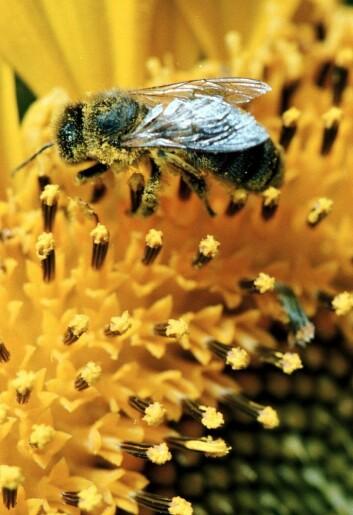 Planteverngifter brukt på blant anna solsikker er vist å kunne medverke til biedød gjennom å skade nervesystemet deira. (Foto: Colourbox)