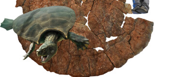 Her ser du skallet til den største skilpadden som noen gang har levd på jorda