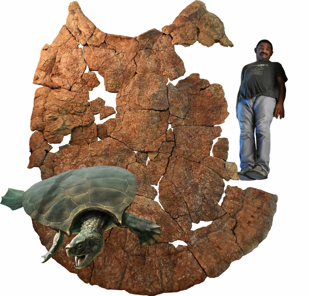 På bildet ser du skallet som er funnet etter en skilpadde som døde for millioner av år siden. Forskeren Rodolfo Sanchez er satt inn i bildet til sammenligning, slik at vi skal skjønne hvor stort skallet var. Nederst i bildet ser du hvordan forskerne tror skilpadden så ut da den levde.