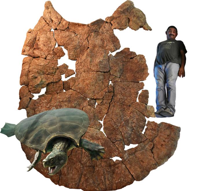 Dette litt rare illustrasjonsbildet (som forskerne har sendt ut selv) viser hvor stor skilpadden må ha vært. Forskerne har brukt den venezuelanske paleontologen Rodolfo Sánchez for å vise den relative størrelsen på skilpaddens massive skall. Nederst til venstre ser du hvordan forskerne tror skilpadden så ut da den levde.